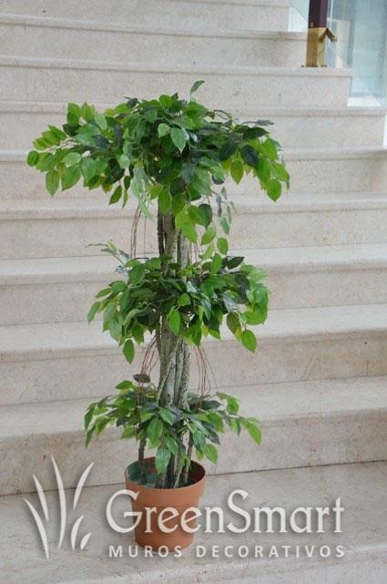 Ficus Multritronco
