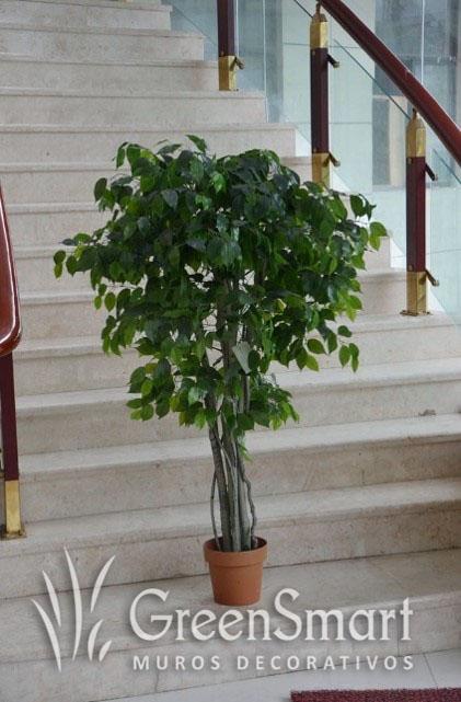 Ficus chico