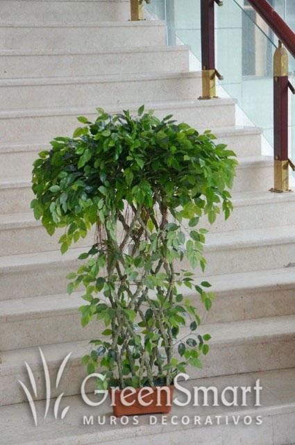Ficus Trenzado
