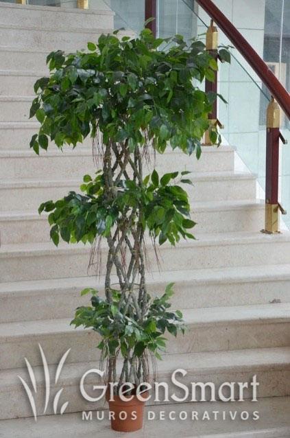 Ficus trenzado 2