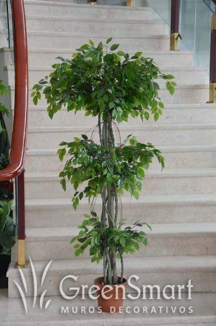 Ficus trenzado 3