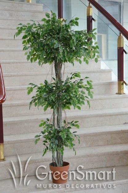 Ficus Varigado